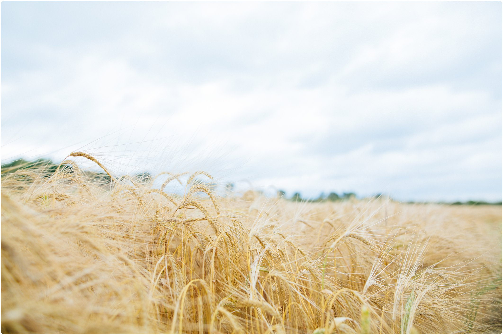 Swallows Nest Barn corn fields